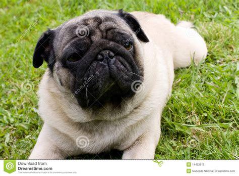 bred pugs breed pug royalty free stock photo image 14422615