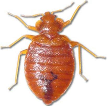male bed bug bed bug treatment removal bergen nj pest control nj