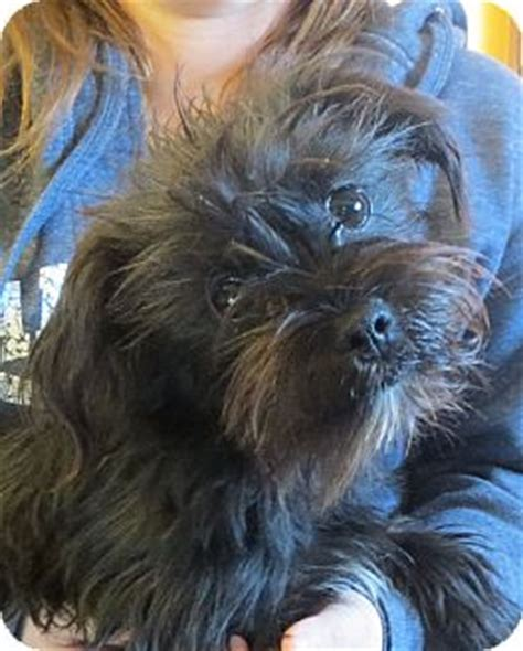 shih tzu puppies rochester ny rochester ny shih tzu poodle or tea cup mix meet kami a puppy for adoption