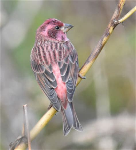what finch is dipped in raspberry juice and migrates