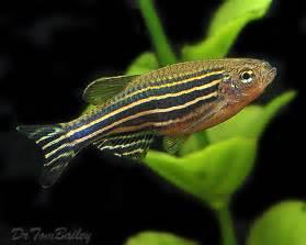 danio for sale aquariumfish net