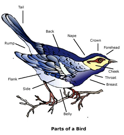 birds it helps if you are familiar with the parts of a
