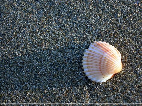 shell wallpaper seashells wallpapers first hd wallpapers