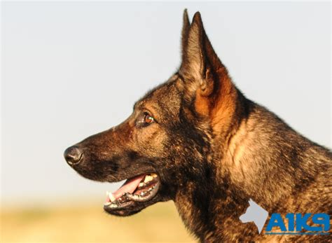 family protection for sale trained family protection dogs for sale east a1k9 family protection trainers
