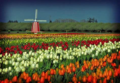netherlands tulip fields worlds most dramatic cherry blossom and tulip festivals