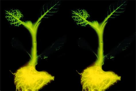 glow in the dark plants could glow in the dark plants replace streetlights