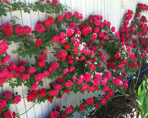 Tanaman Jadi Bunga Mawar Putih Salem tiga jenis bunga mawar paling diminati cara merawat bunga