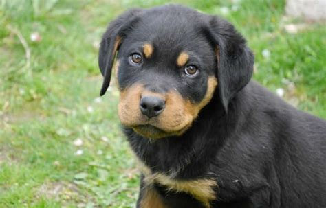 rottweiler characteristics rottweiler facts traits free rottweiler puppies