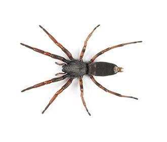 common spider species rentokil pest control