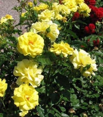 Jual Bibit Bunga Mawar Di Makassar jual tanaman mawar floribunda kuning bibit