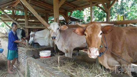 Bibit Sapi Anakan efisiensi pakan ternak manfaatkan limbah panen padi