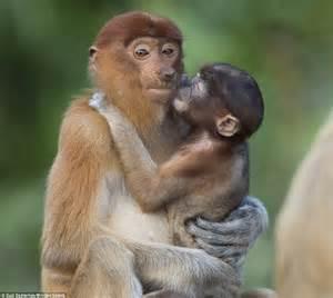 monkey with proboscis monkey baby