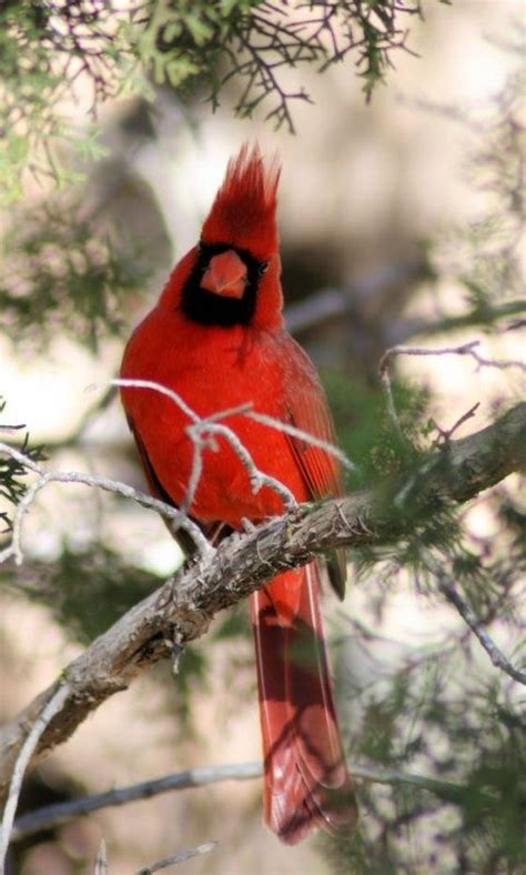 2821 best red birds images on pinterest beautiful birds