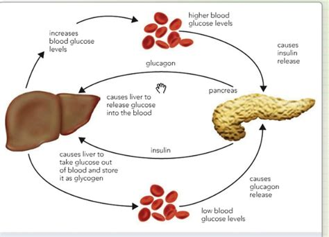 carbohydrates are stored as glycogen in the where are excess carbohydrates stored in the updated