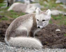 arctic fox color the arctic fox information