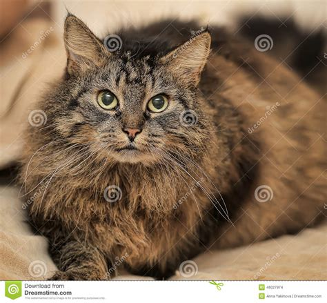 brown fluffy beautiful fluffy brown cat stock photo image 46027974