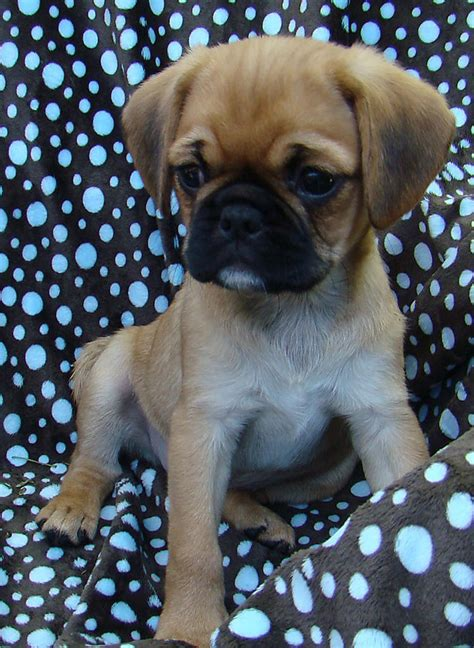 pug puppies for sale perth wa for sale pugalier drop dead gorgeous magda 9 weeks
