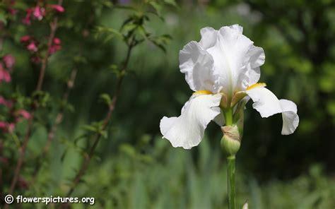 iris pictures iris flower pictures