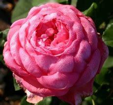 Wedding Bells For Zahara by Nov 233 Odrůdy Velkokvět 253 Ch Růž 237 Pro Vaši Růžovou Zahradu