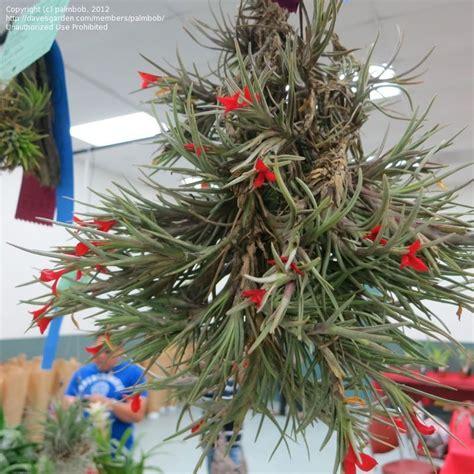 plantfiles pictures tillandsia bromeliad air plant tillandsia albertiana by palmbob
