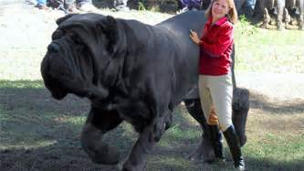 Pics photos the top 5 biggest dogs in the world top 5 lists