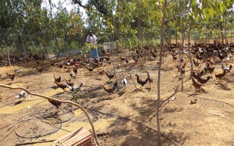 backyard poultry in india semi intensive system for backyard poultry fetches good