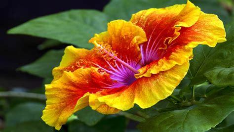 hawaiian yellow hibiscus orange yellow hibiscus yellow orange hibiscus bing images