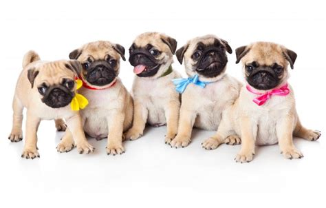 pug cruelty pug puppies guide to puppies