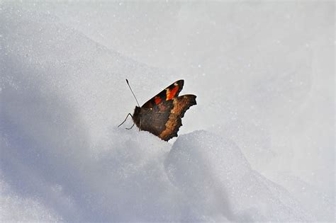 it was snowing butterflies free photo butterfly snow winter nature free image on pixabay 429644