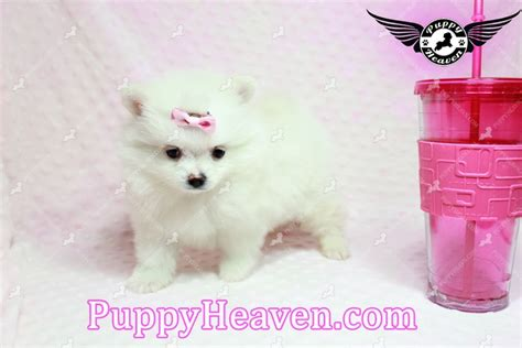teacup pomeranian los angeles teacup pomeranian puppy in los angeles ca breeds picture