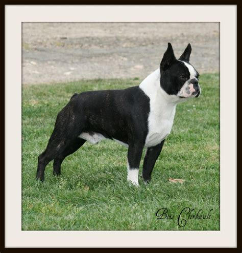 boston terrier puppies oklahoma boston terrier club of oklahoma city breeds picture