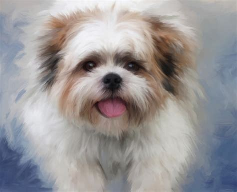adoption shih tzu shih tzu rescue portrait of your pet