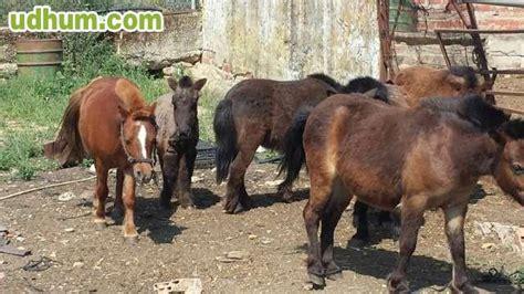 burros con yeguas se venden yeguas burros y ponis