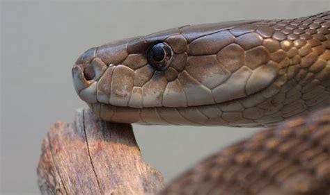 Facts About Serpentology | albino black mamba www pixshark com images galleries