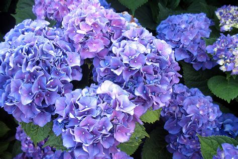 wallpaper flower hydrangea blue hydrangea wallpaper wallpapersafari