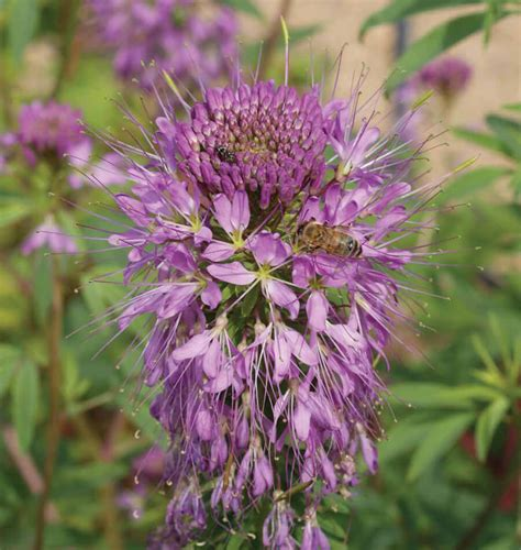Garden Flower Seeds Rocky Mountain Bee Plant Seeds