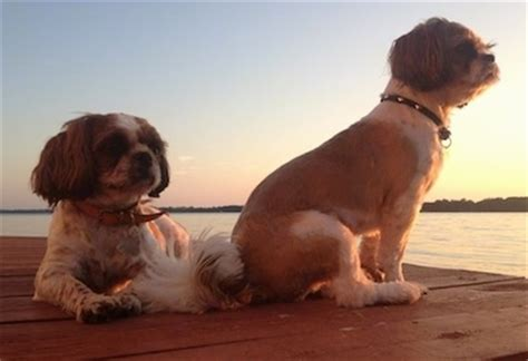 grown shih tzu shih tzu breed information and pictures