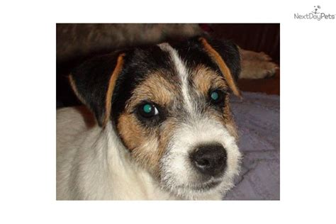 parson terrier puppies for sale parson terrier dogs puppies for sale in ohio rachael edwards