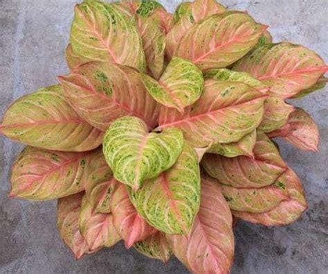 Tanaman Aglonema Moonlight jenis tanaman hias aglaonema yang populer beserta harganya