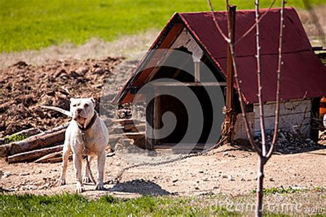 pitbull dog houses pitbull stock images image 30012914