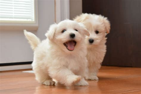 yorkie coton puppies for sale coton de tulear puppies for sale