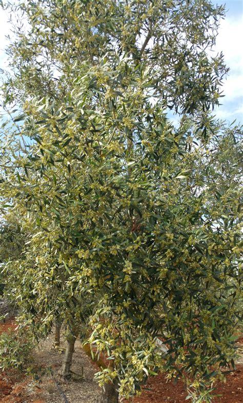 ulivo in fiore fotogallery olio conte olio puglia salento