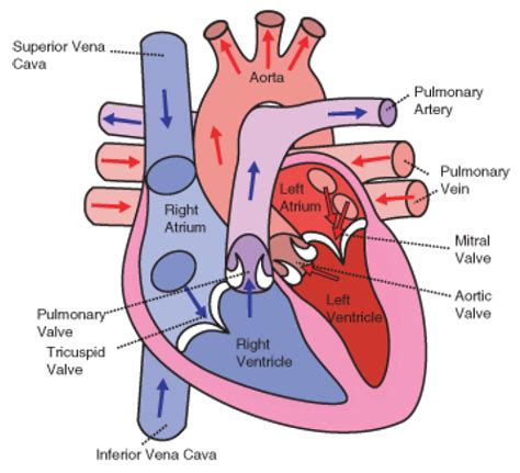 pattern of heart blood flow mitral valve degeneration canine heart disease syncope