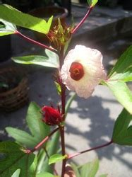 jenis rosella good quality rosella