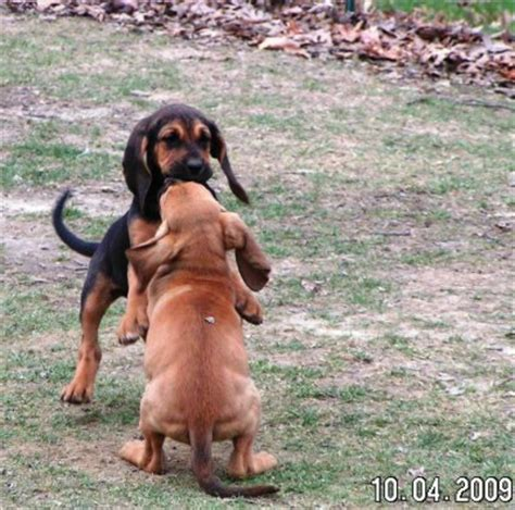 bloodhound puppies for sale in michigan bloodhound breeders in indiana