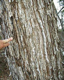 maple tree virginia tech virginia tech dendrology fact sheet