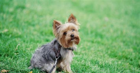 what is a cotton coat yorkie photos of cotton coat yorkies haircuts photos of cotton
