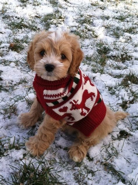 labradoodle christmas jumper sweater max the cockapoo my puppy doggies the o jays