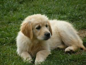 Anche foto di golden retriever vendita cuccioli di golden retriever