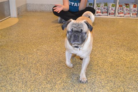 pug adoption california pug rescue fresno california breeds picture